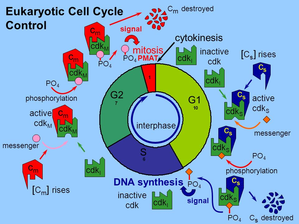 Eukaryotic Cell Cycle Control cm cytokinesis mitosis [Cs] rises cm cs